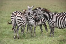 Zebra heard